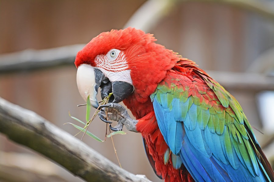 Red Parrott  by Wendy Milne - Animals Birds ( bird, red, colourful, red parrott, eating )