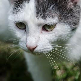 Scrutinizing with attention by Cătălina Panait - Animals - Cats Portraits ( face, cat, observe, scutinize, cat portrait, whiskers, scan, closeup, portrait,  )