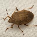 Stink or Shield Bug
