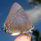 Marius hairstreak
