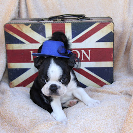Boston terrier by Lize Hill - Animals - Dogs Puppies