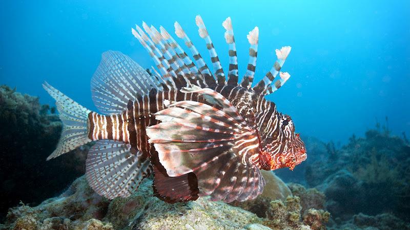 Photo: Lion Fish on Mikanda Reef, Zanzibar