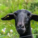Santa Inês sheep