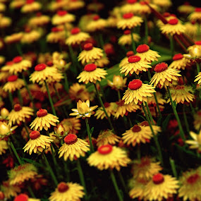 Flowers On The Field by Jun Robato - Nature Up Close Flowers - 2011-2013 ( nature, flowers )