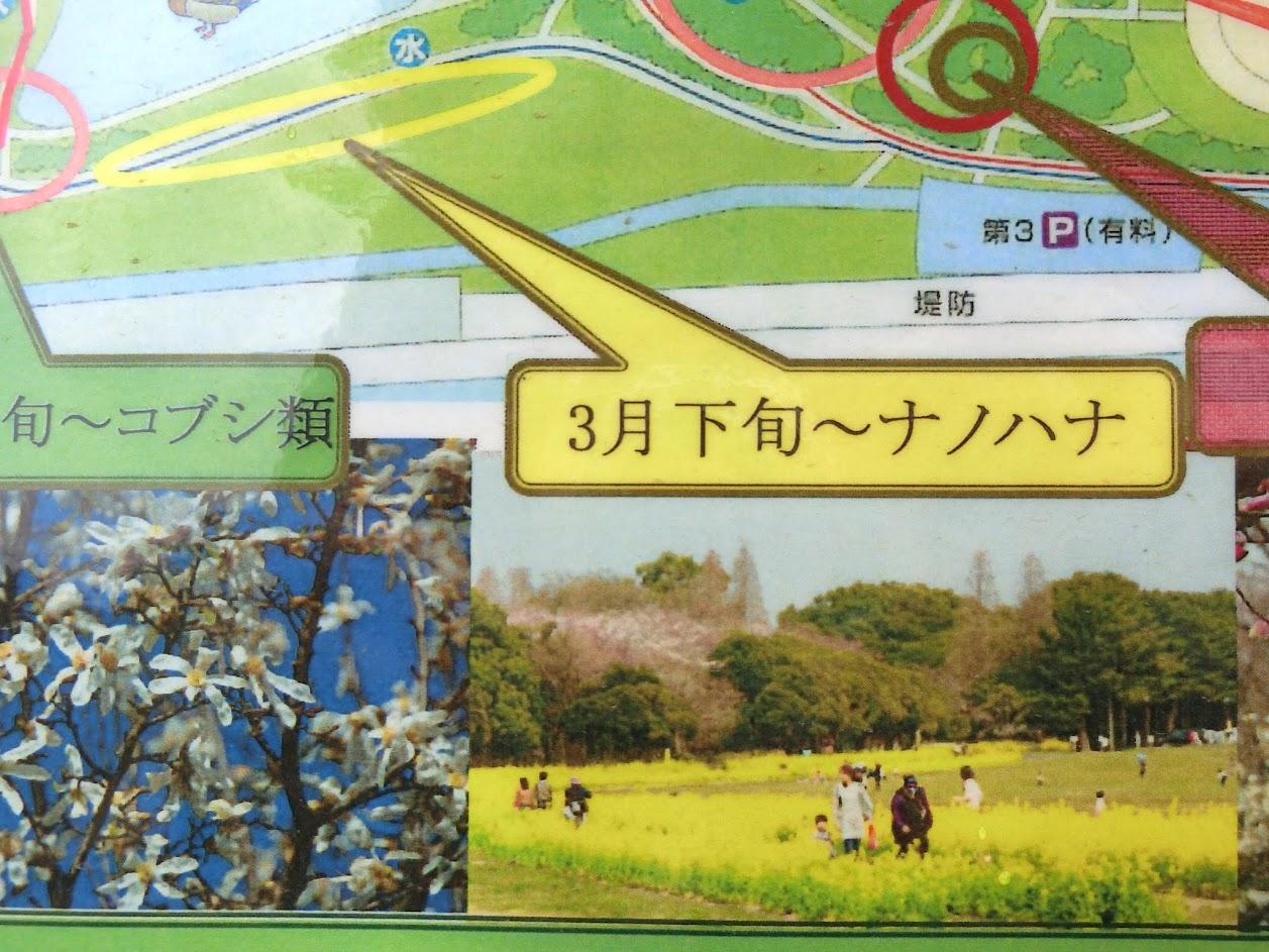 庄内緑地公園3月下旬 ナノハナ
