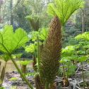 Brazilian giant-rhubarb