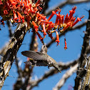 Ocotillo  Cactus & Costa's Hummingbird