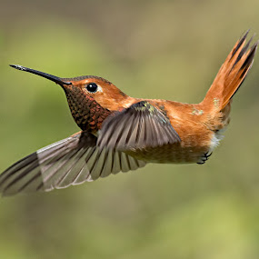 Hummingbird by Sheldon Bilsker - Animals Birds ( bird, hummingbird, animal )