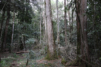 Photo: Forest high up - dominated by podocarpus...