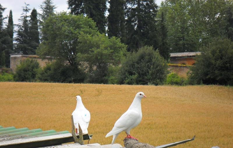 Le colombe di Trutzy