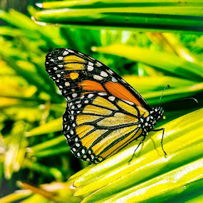 Butterfly by Anne LiConti - Instagram & Mobile Android ( #mobilephotography, #garden, #phonephoto, #phonephography, #mobilephoto, #mobile, #instagram, #visitor, #monarch, #monarchbutterfly, #butterfly )