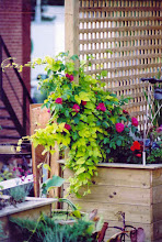 Photo: Golden Hops and a John Cabot Rose are so hardy they can survive in this rooftop planter.