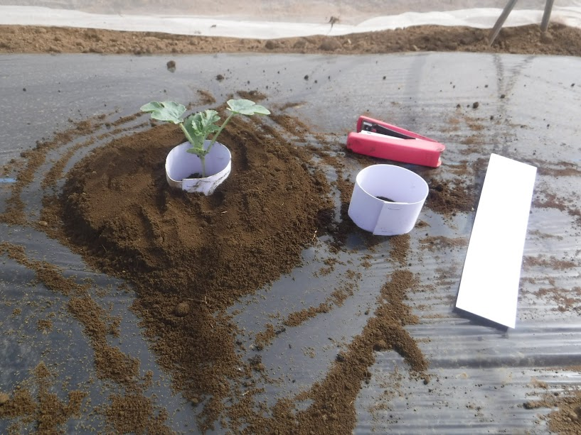 ネキリムシガード 2017 厚紙とホッチキスで、苗をネキリムシから守ります