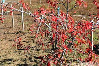 Photo: 拍攝地點: 梅峰-一平臺 拍攝植物: 假沙梨 拍攝日期: 2014_11_25_FY