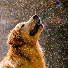 On a hot summer day by Ricardo Q. T. Rodrigues - Animals - Dogs Portraits ( summer, dog, rain, golden, golden retriever )