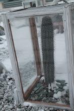 Photo: Sušalę Baku augalai.  Frozen Baku's cactus.