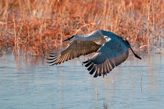 Photo: Sandhill crane in flight