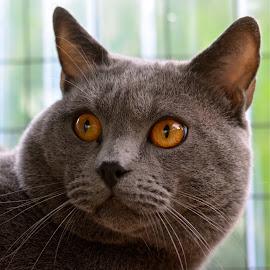 Hugo 4 by Serge Ostrogradsky - Animals - Cats Portraits