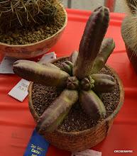 Photo: Echinocereus sheeri ssp gentryi 1st place