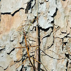 Giant Walkingstick (mating)