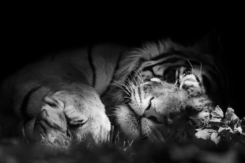 Non svegliare la tigre che dorme di utente cancellato