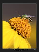 Photo: Sweat Bee   http://www.hatch1921.com   Sigma 180mm macro with the Sigma 1.4xTC
