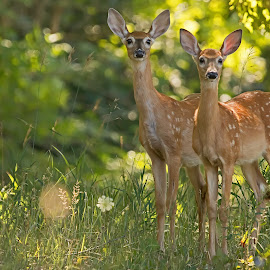 Twins by Bill Diller - Animals Other Mammals ( deer, twins, white-tail deer, forest, michigan, white-tail fawn, woods, spots, animals, baby deer, fawn, baby animals )