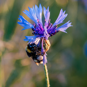 Bee Still by Lizzy MacGregor Crongeyer - Novices Only Wildlife ( nature, blue, single flower, bee, cornflower, close-up )