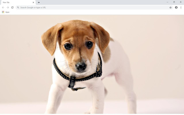 Jack Russel Terrier Wallpapers and New Tab