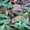Common toad-frog