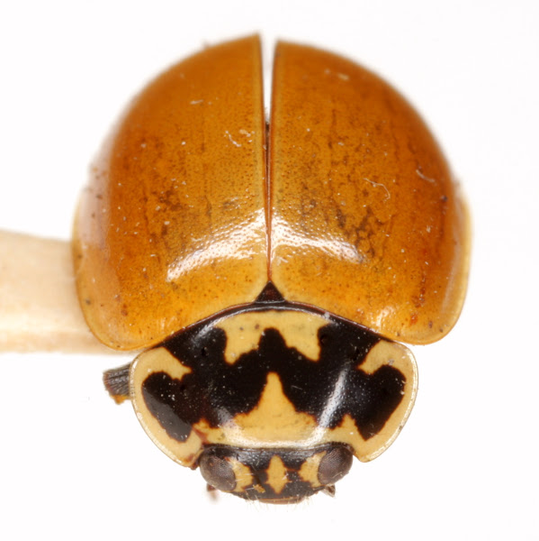 Photo: Mulsantina picta (Randall) Det. J. B. Chapin, 1984 (Coccinellidae » Coccinellinae)