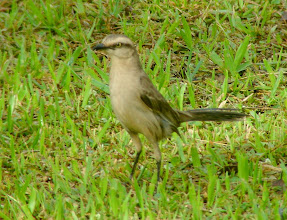 Photo: Chalk-browed mockingbird - Macuco Trail -  Iguazu National Park - Argentina - Dec 2, 2010