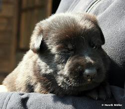 Photo: schwarzer Rüde, 2 Wochen alt