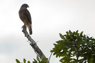 Photo: Roadside Hawk (Wegebussard); Bacalar, QROO