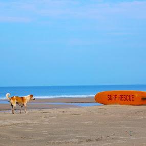 rescue dog by Usman Irani - Landscapes Beaches ( sand, flag, goa, south goa, varca beach, sea, beach, surf, dog, varca )