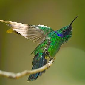 Hummer landing by Dan Pham - Animals Birds