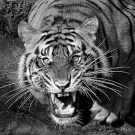 tifer scream by Robert Cinega - Black & White Animals