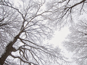 Photo: Looking up at snow-covered trees at Eastwood Park in Dayton, Ohio.