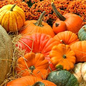 Pumpkin Patch by Chris Pugh - Public Holidays Halloween ( gourd, pumpkin patch, pumpkin, fall, pumpkin close up, pwcpumpkins, halloween )