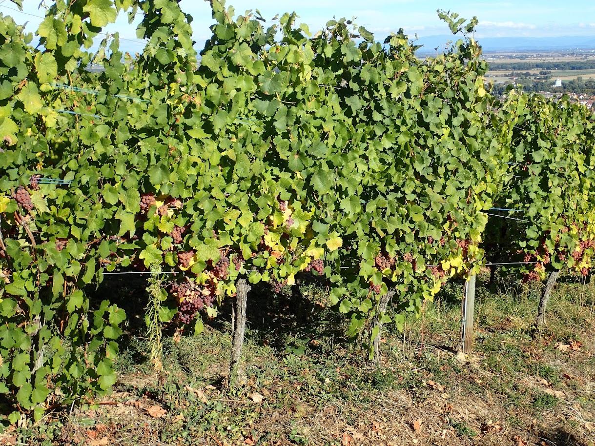 Des raisins bientôt prêts pour la récolte