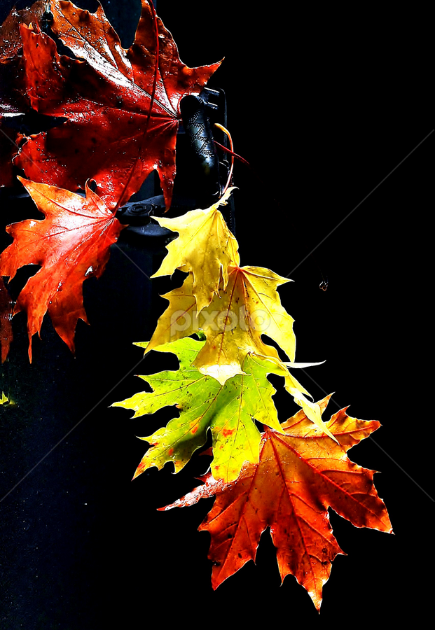 Autumn Leaves by Vineet Johri - Nature Up Close Leaves & Grasses ( red, color, autumn, green, pwcautumn, yellow, leaves, nature, fall, abscission, folliage )
