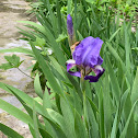 Kumaon Iris