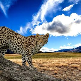 by Johann van Dalen - Animals Lions, Tigers & Big Cats