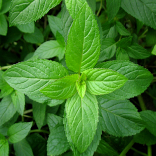 the medicinal use and purpose of the thornapple plant History of use of traditional herbal medicines that used herbs for this purpose the active principles of plant-derived products have been isolated and.