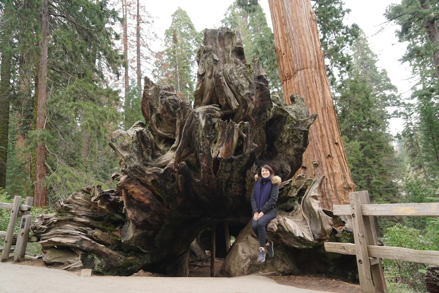 Dead Sequoia Tree