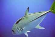 Photo: Carangue à Columbus Isle aux Bahamas