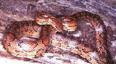 Image of adult Corn Snake.