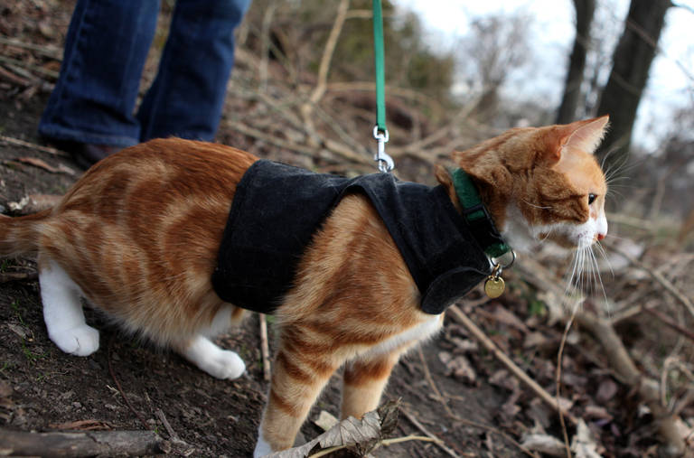 cat with harness