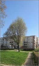 Photo: Arțar, Paltin de munte - (Acer pseudoplatanus) - de pe Calea Victoriei, spatiu verde Mr.1 - 2018.04.11