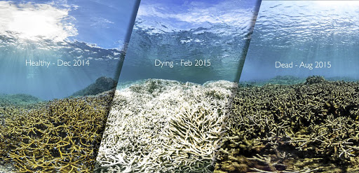 Bleached skeletons: Rising sea temperatures have killed coral on a large scale. An innovative project is under way in the Maldives to propagate the coral. Picture: SUPPLIED
